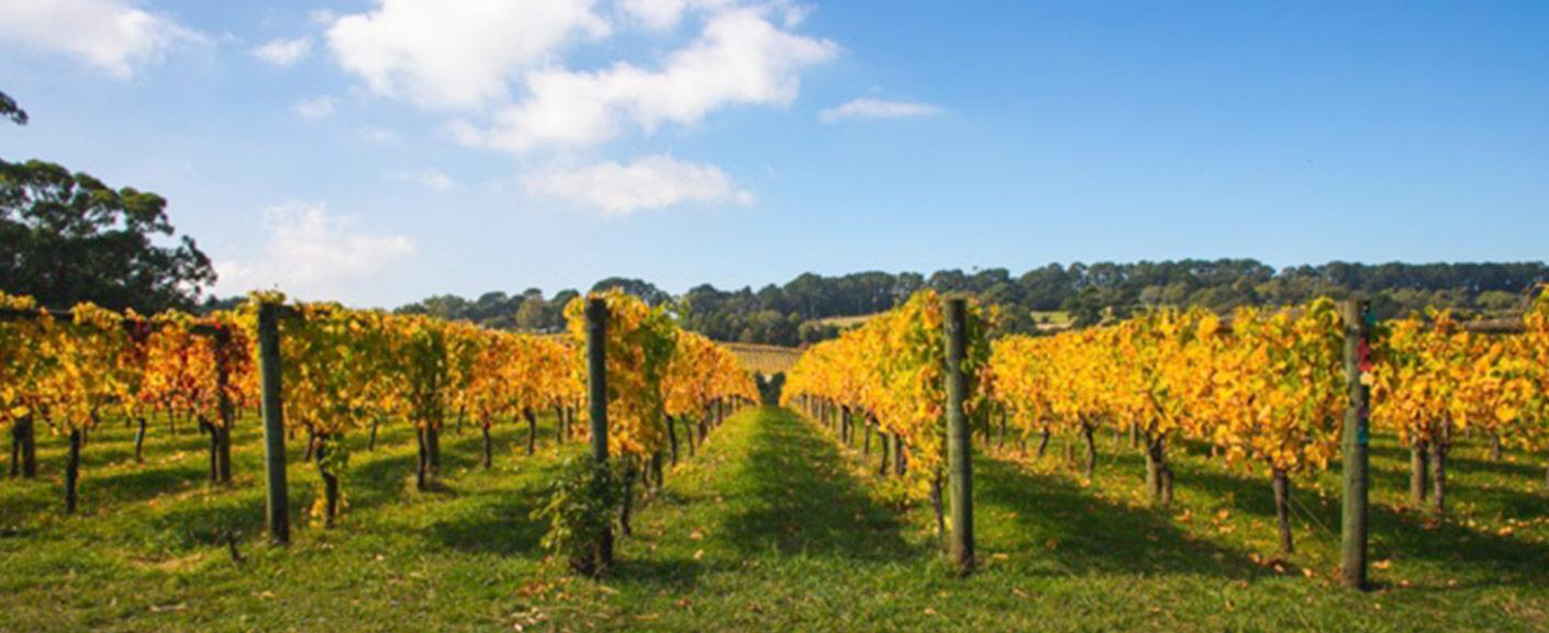 Bellingham Vineyard