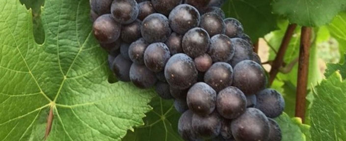 Elgee Park grapevine