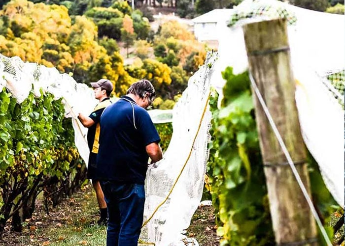 Paringa vineyard work