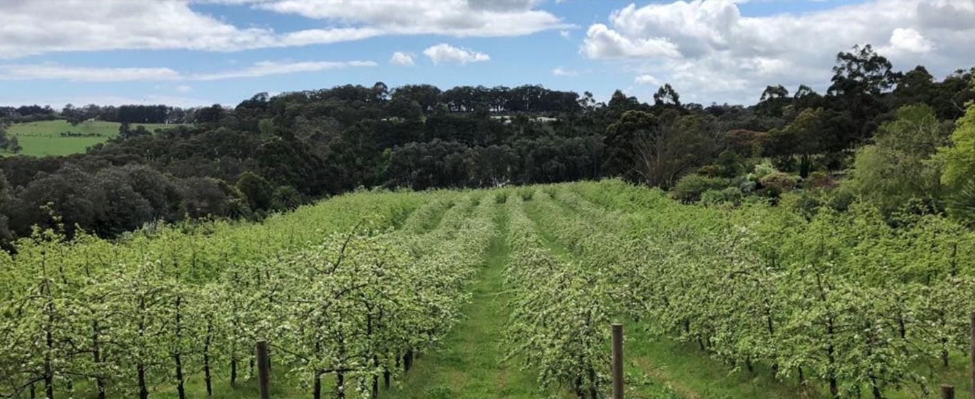 Red Hill fresh organic apple orchard