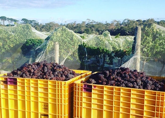 Yabby Lake - grapes picked from vineyard