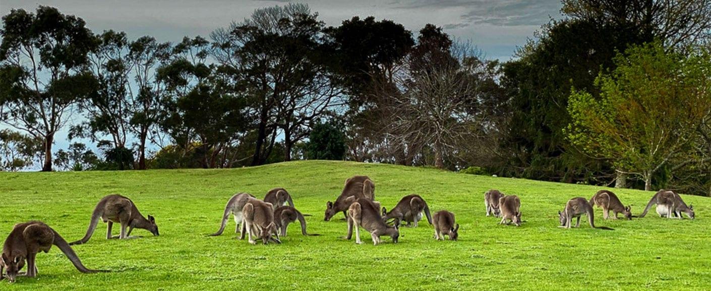 Kangaroos in Seawinds Gardens